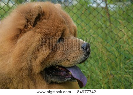 Portrait of dog breed Chow Chow with protruding blue tongue. Shallow depth of field.