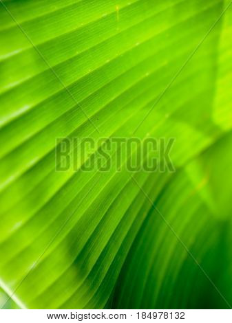 Background of closeup green color banana leaf.