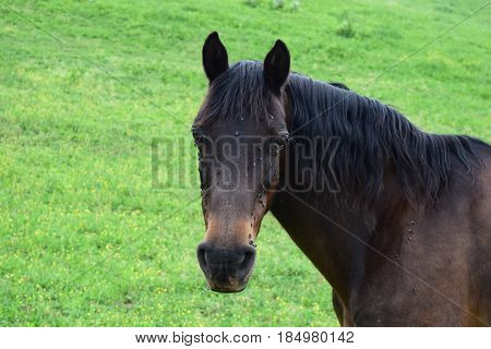 Brown horse with black mane in a green field