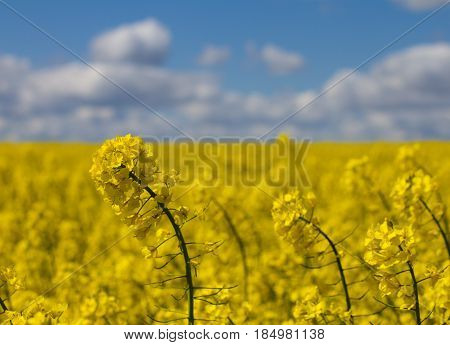 Rapeseed flowers in the field outdoors. The field of rapes and cloudy blue sky on the background. Flower of rape close up shot
