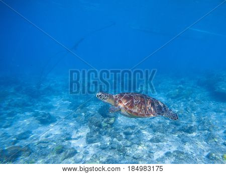 Sea turtle in shallow water. Oceanic turtle. Tropical sea nature of exotic island. Olive ridley turtle in clean sea water. Green tortoise in tropical lagoon. Underwater photo of cute marine animal