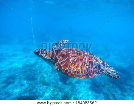Sea turtle in blue water closeup. Olive green turtle underwater photo. Sea animal in coral reef. Coral reef ecosystem with plants and animals.
