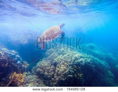 Sea turtle in sunlight. Wild turtle in blue water. Sea tortoise snorkeling photo. Olive green turtle dives up. Oceanic animal in sea. Tropical water life. Beautiful wild nature on tropic seashore.