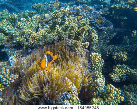Orange Clown fish in actinia tentacles. Clownfish in sea plant. Small coral fish with red fins. Cute marine animal. Coral reef species of exotic island seashore. Clownfish in shallow water of seashore