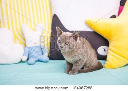 Gray Kitten On A Blue Couch Looking To The Side.
