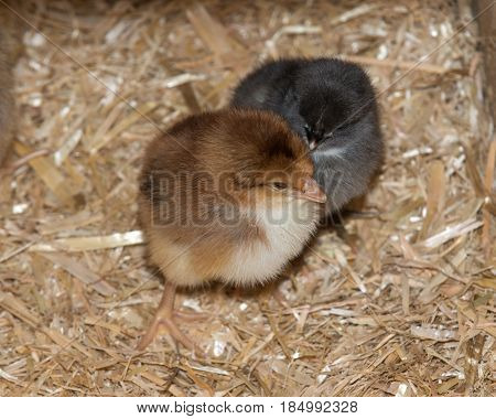 Pure breed baby chick after successful hatching on fresh straw