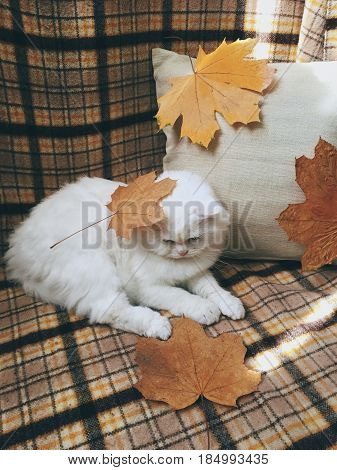 White funny fluffy cat Scottish Highland Straight lying with yellow autumn leaves on blanket