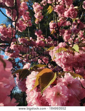 Perfect Sakura Cherry Flowers Blossoms in park