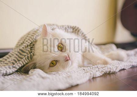 White funny fluffy cat Scottish Highland Straight lying on scarf
