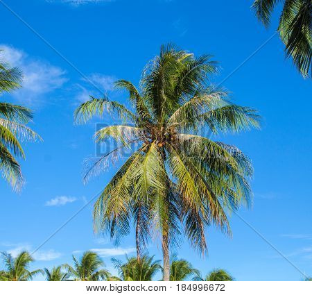 Tropical island Palm tree closeup. Bright blue sky background. Summer vacation banner template. Fluffy palm tree with green leaves. Coconut palms under sunlight. Exotic nature holiday relaxing view