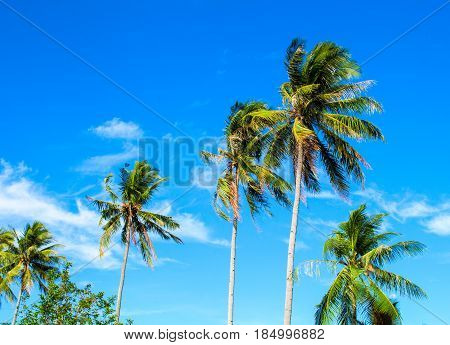 High palm tree on tropical island. Bright blue sky background. Summer vacation banner template. Fluffy palm tree with green leaves. Coconut palm under sunlight. Exotic nature holiday postcard view