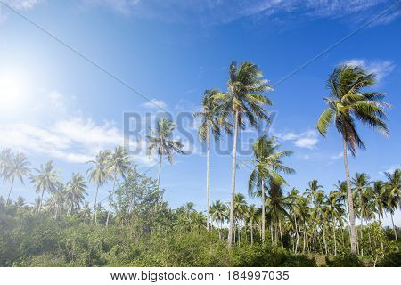 Palm trees skyline on tropical island. Sunny blue sky background. Summer vacation banner template. Fluffy palm tree with green leaves. Coconut palms under sunlight. Exotic nature holiday relaxing view