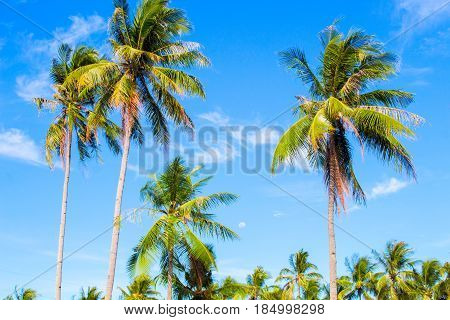 Tall palm tree on tropical island. Blue sky and sunny weather. Summer vacation banner template. Fluffy palm tree with green leaves. Coconut palm under sunlight. Exotic nature holiday postcard view