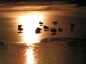 Few duck on the ice during sunset poster