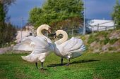 Couple of White swans on the riverbank - love and romance poster