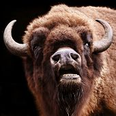 buffalo with open mouth poster