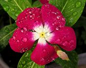 Impatiens Touch-me-not Busy Lizzie close-up macro of red flower covered in raindrops poster