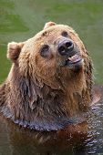 brown bear taking a bath poster