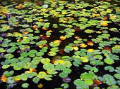 View of tens of frogs in a water lily lake poster