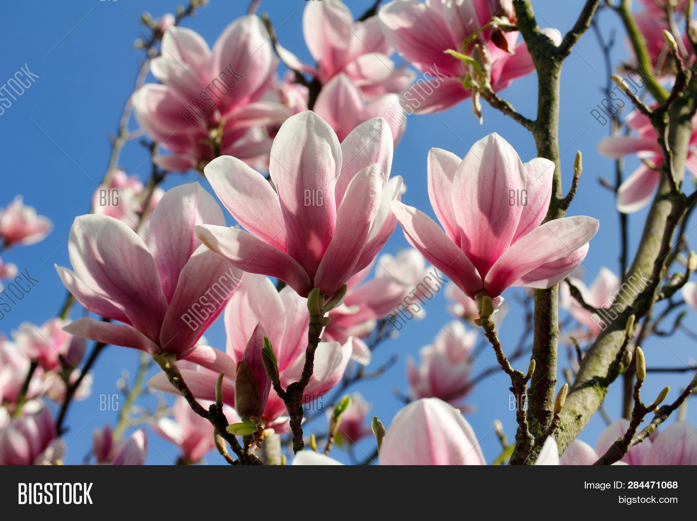 Branch Magnolia Tree Image Photo Free Trial Bigstock