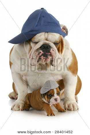 dog father and son - english bulldog father with four week old son  wearing hats sitting on white background