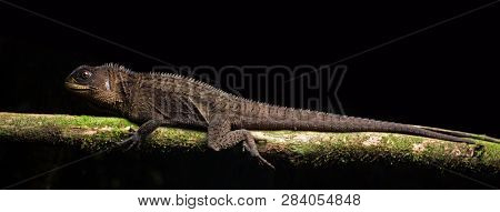 a crested dragon or wood lizard, Enyalioides species, from the Amazon rain forest in Colombia. A beautiful reptile