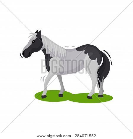 Beautiful Gray Horse With Big Black Spots Walking By Green Grass, Side View. Hoofed Mammal Animal. F
