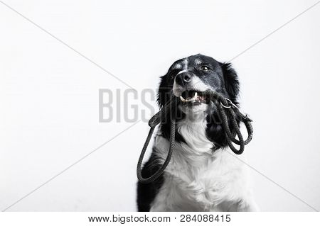 Cute Dog With Leash In Mouth. Black And White Border Collie Waiting On The Walk. Portrait On White B