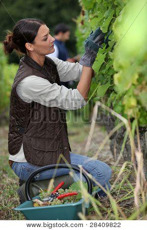 Woman harvesting grapes.