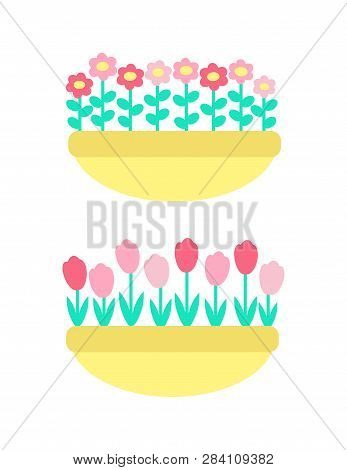 Daisies And Marguerites, Tulips Springtime Flowers Grown In Clay Pot Or Flower-bed Vector Isolated P