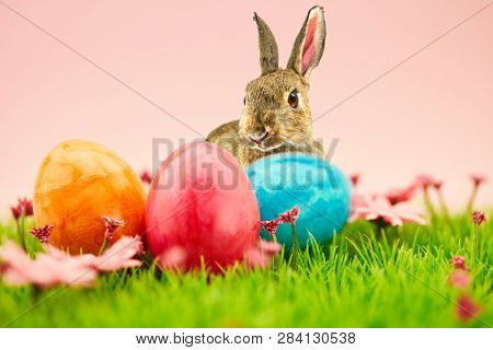 Easter bunny and colorful easter eggs for Easter on a green meadow