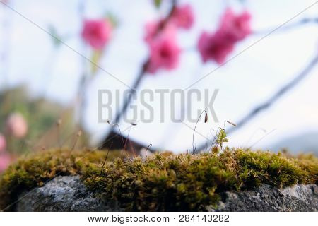 Close Up Of Blooming Springtime Moss. Abstract Composition With Moss Flowers,beautiful Moss And Lich