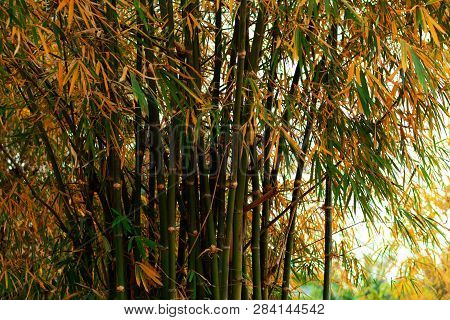 Yellow Clump Of Old Wide  Bamboo On Summer In The Forest
