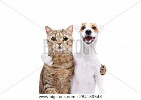 Portrait Of A Dog Jack Russell Terrier And Cat Scottish Straight Hugging Each Other Isolated On Whit