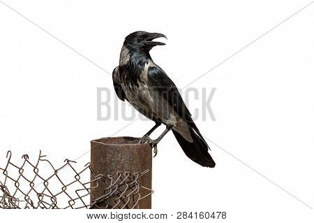 Adult Grey Crow Perching On Wire Mesh Fence. Hooded Crow With Gray And Black Plumage (corvus Cornix)
