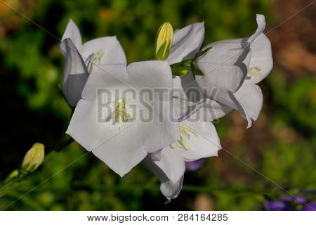 Close-up Of White Campanula Bellflowers In The Summer Garden. Macro Photography Of Nature.