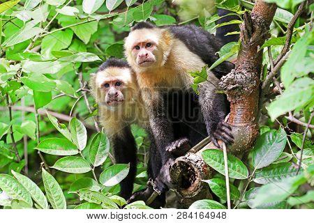 Curious Capuchin Monkey. Punta Arenas, Costa Rica. A Medium Sized Monkey,  The Organ Grinder Monkey