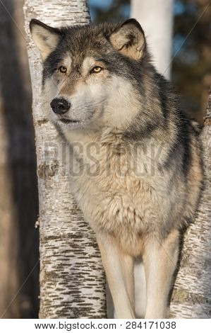 Grey Wolf (canis Lupus) Stands Winter - Captive Animal