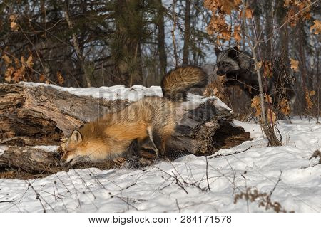 Silver Fox (vulpes Vulpes) Chases After Amber Phase Red Fox Winter - Captive Animals