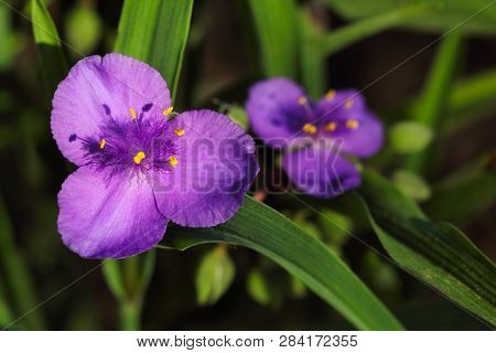 Close-up Of Lilac Virginia Spiderwort (tradescantia Ohiensis) Flower On The Summer Meadow. Macro Pho
