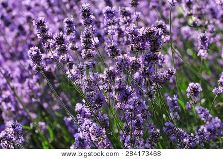 View Of Summer Meadow With  Common Lavender Flowers. Macro Photography Of Nature.