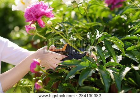 Hands Of Middle Age Female Gardener. Woman Working With Secateur In Domestic Garden At Summer Day. G
