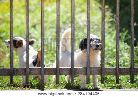 The Dog Looking Outside Waiting For The Owner In Fence Front Yard At Home - Sad Dog Animal Pet