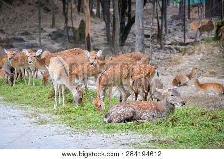 Chital Cheetal Spotted Deer / Axis Deer Graze In The National Park