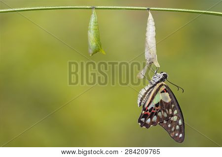 Transformation Of Common Jay Butterfly ( Graphium Doson)  With Pupa Shell Hanging On Twig   , Growth