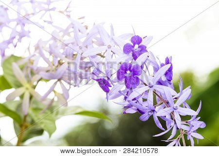 Purple sandpaper vine flower with theirs tree in garden , Petrea volubilis poster