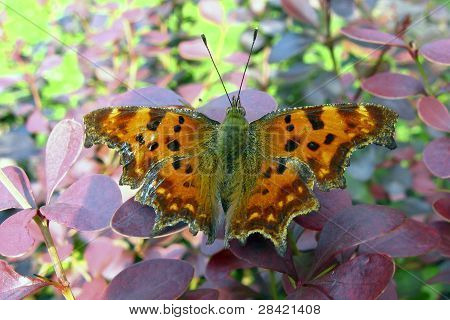 Buttefly Polygonia C Album
