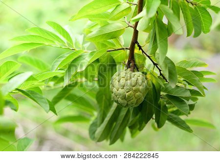 Fresh Sugar Apple On Tree In The Garden Tropical Fruit Custard Apple On Nature Green Background / An