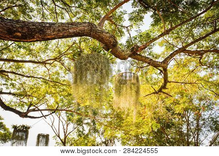 Tillandsia Usneoides Hang On The Tree In Green Garden / Spanish Moss Or Dendropogon Usneoides Plant