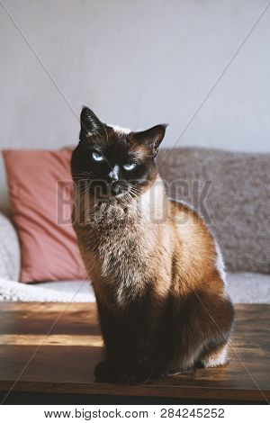 Siamese Cat Sits On Coffee Table In Living Room In Sunlight